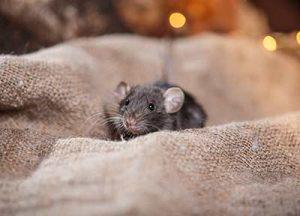 הדברת עכברים כל השיטות והיעילות שבהם